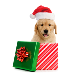 christmas-puppy